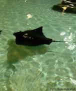 Manta ray at SeaWorld San Diego.